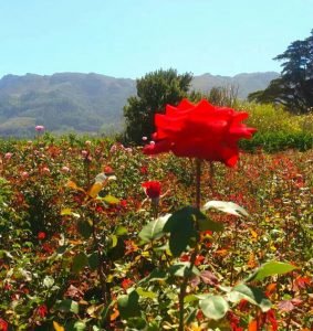 Stop and smell the roses at Charm Farm michalah francis1