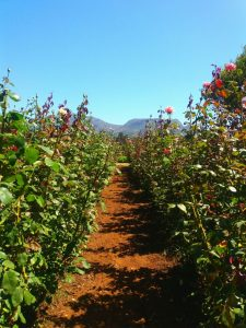 Stop and smell the roses at Charm Farm michalah francis5